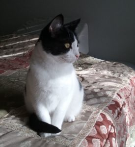 Kali, a tuxedo cat with white chest and dark spots on her back and dark mask face