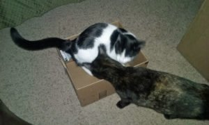 Two cats deciding on moving box