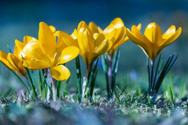 new spring daffodils in bloom, Photo by Ilona Frey on Unsplash